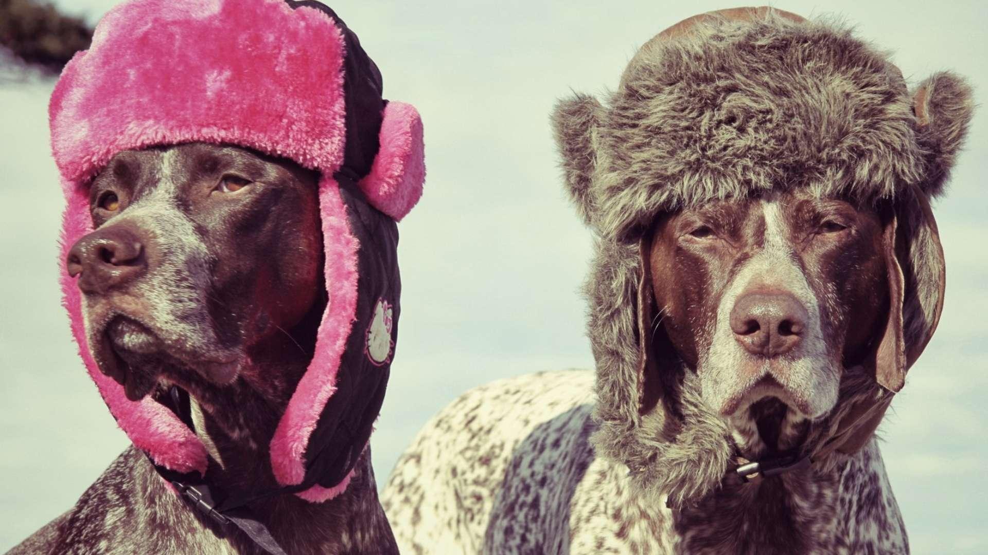 Собака курцхаар фото собаки картинка
