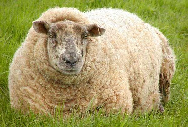 Домашняя овца лежит в траве (Ovis aries), фото голоса домашних животных фотография картинка