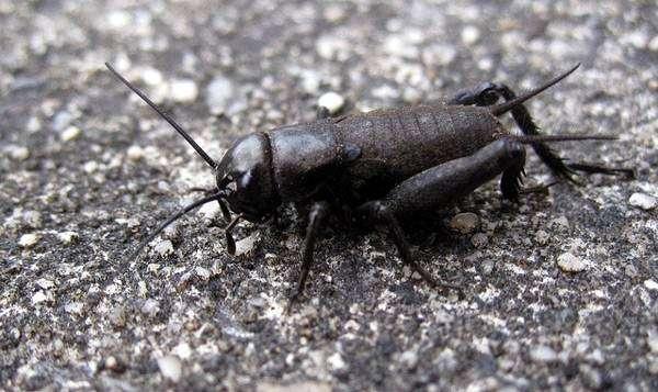 Весенний полевой сверчок (Gryllus veletis), фото песни голоса насекомых фотография картинка