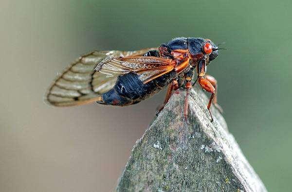 Цикада семнадцатилетняя (Magicicada septendecim), фото звуки насекомых фотография картинка