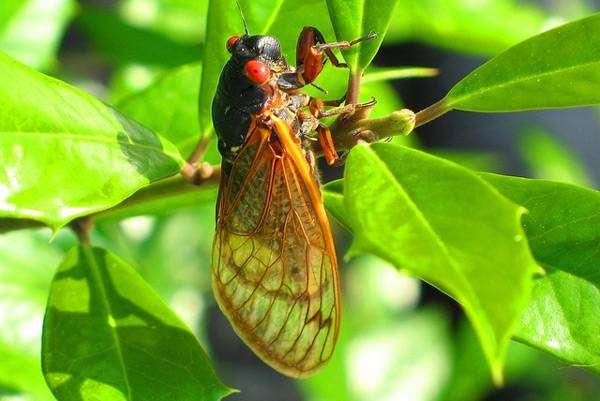 Голос летней цикады magicicada tredecim mp голос песня  13 летняя цикада magicicada tredecim голос звук песня в mp3
