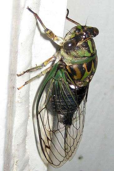 Певчая цикада Линнея (Tibicen linnei), фото голоса звуки насекомых фотография картинка