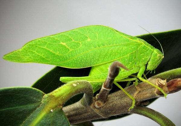 Кузнечик листокрылый (Microcentrum rhombifolium), фото голоса звуки насекомых фотография картинка
