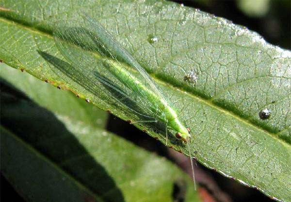 Зеленая златоглазка (Chrysoperla plorabunda), фото звуки насекомых фотография картинка