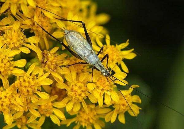 Черноногий трубачик (Oecanthus nigricornis), фото голоса звуки насекомых фотография картинка