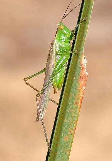 Тонкий луговой кузнечик (Orchelimum delicatum), фото голоса звуки насекомых фотография картинка