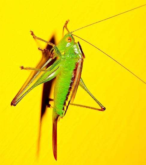 Луговой кузнечик-гладиатор (Orchelimum gladiator), фото голоса звуки насекомых фотография картинка