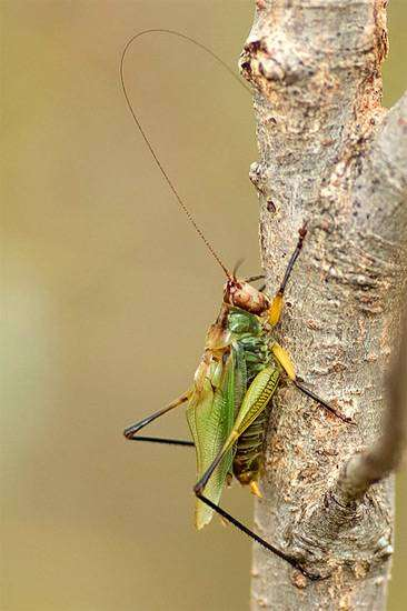 Черноногий луговой кузнечик (Orchelimum nigripes), фото голоса звуки насекомых фотография картинка