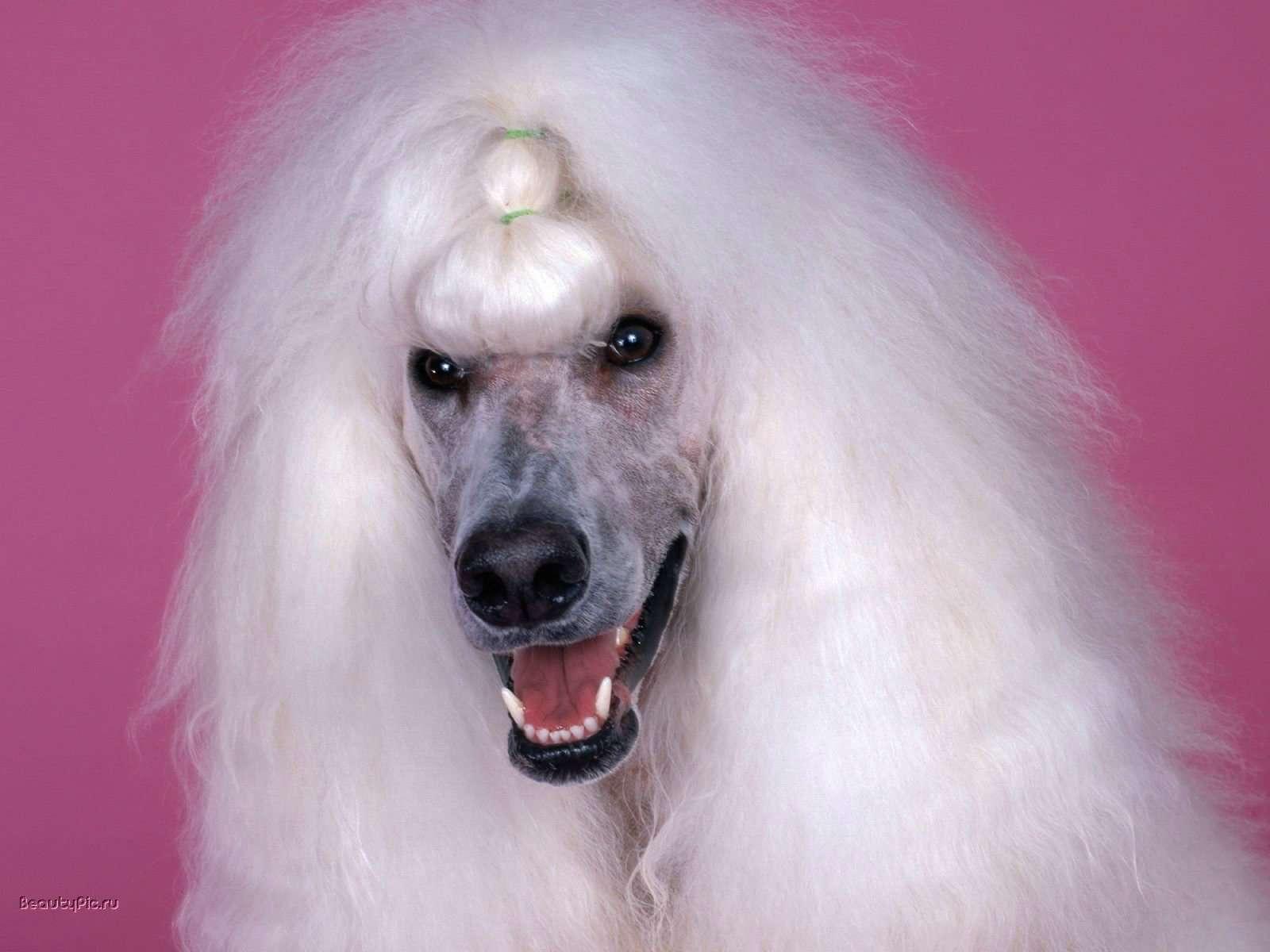 Пудель, фото породы собаки фотография картинка