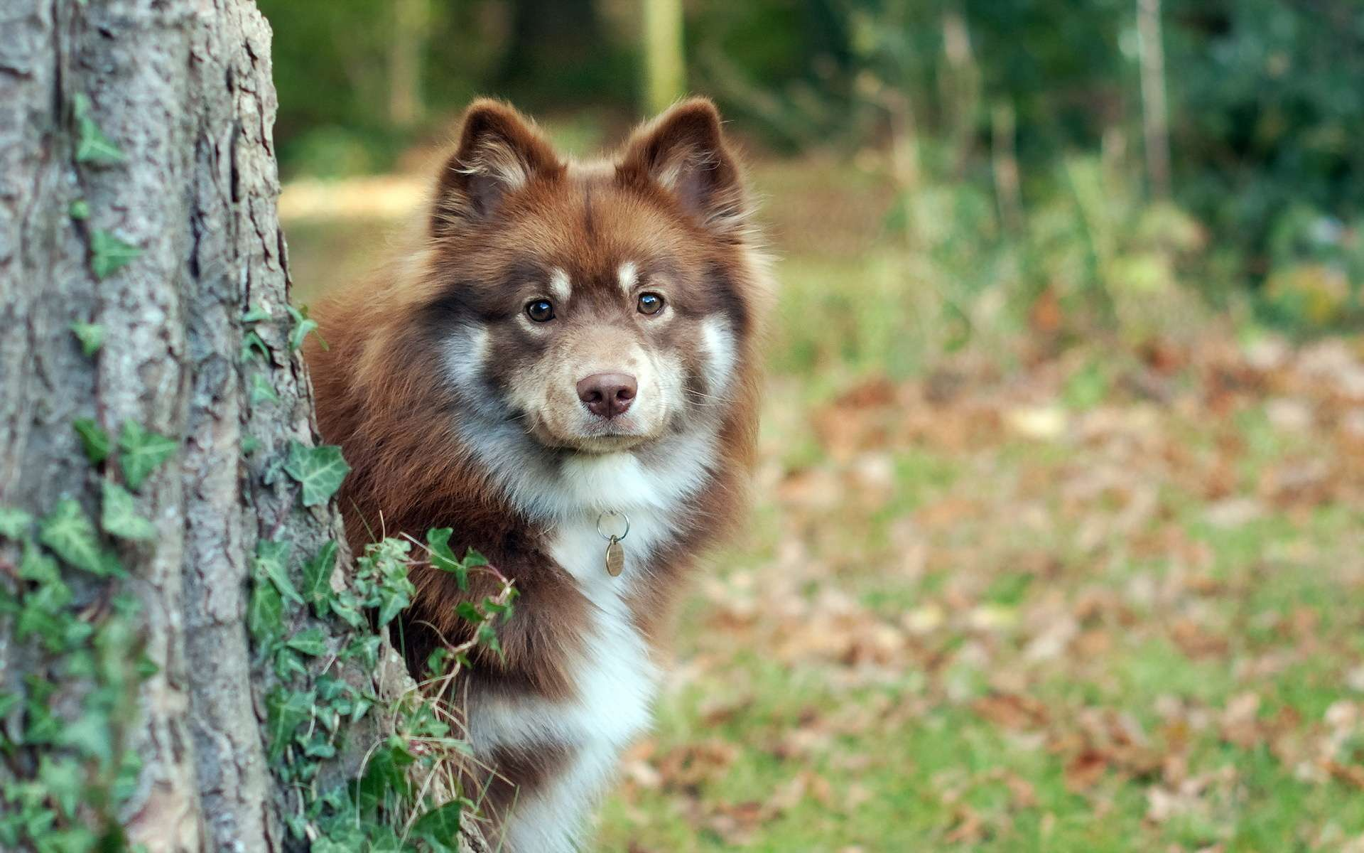 Обои Собака, Финский лаппхунд, морда. Собаки foto 17