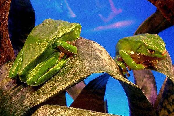 Двухцветная филломедуза (Phyllomedusa bicolor), фото земноводные фотография картинка новости
