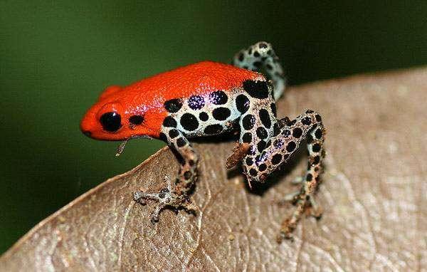 Красноспинная ядовитая лягушка (Ranitomeya reticulatus), фото бесхвостые амфибии фотография картинка
