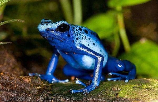 Голубой древолаз (Dendrobates azureus), фото амфибии фотография картинка