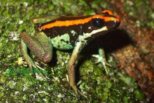 Полосатый листолаз (Phyllobates vittatus), фото новости о земноводных фотография картинка