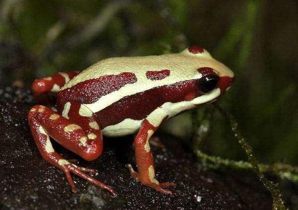 Трехполосый листолаз (Epipedobates tricolor), фото новости о животных фотография картинка