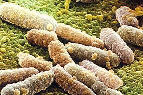 Бактерии паратифа В, фото болезни животных фотография картинка