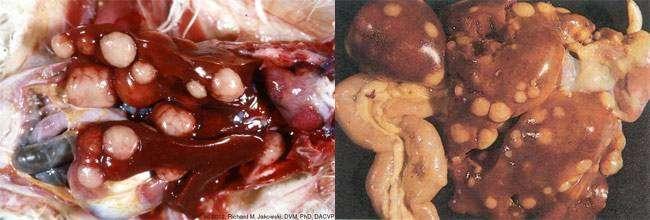 Внутренности птиц, больных лейкозом, фото болезни птиц животных фотография картинка
