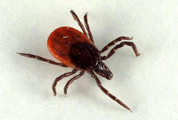 Собачий клещ (Ixodes ricinus), фото болезни диких и домашних животных фотография картинка