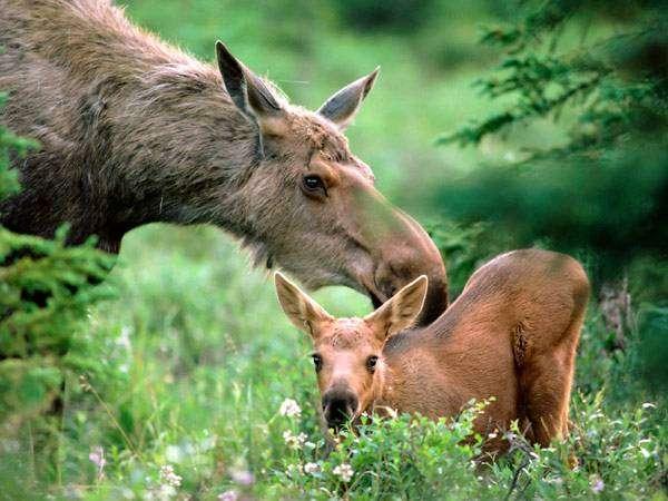 Лосиха с лосенком, фото болезни диких животных фотография картинка