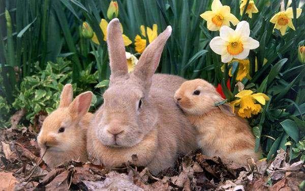 К чему снится кролик девушке