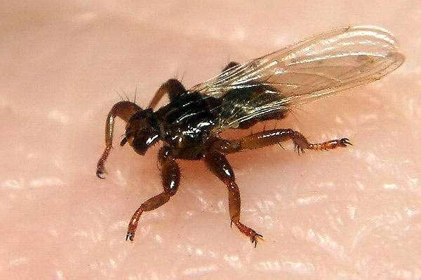 Оленья кровососка (Lipoptena cervi), фото болезни диких животных фотография картинка