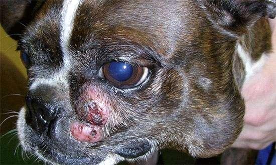 Мастоцитома собак, фото болезни диких и домашних животных фотография картинка