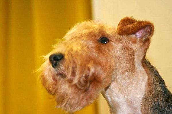 Лейкленд терьер, фото породы собак фотография картинка