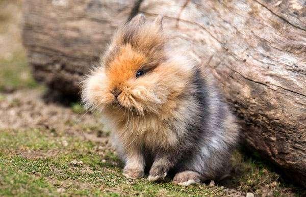 Породы Декоративных Кроликов С Фото И Описанием