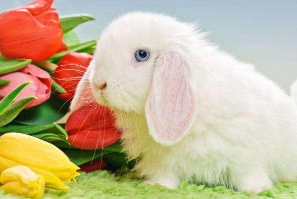Лисий баран, фото породы декоративных кроликов фотография картинка