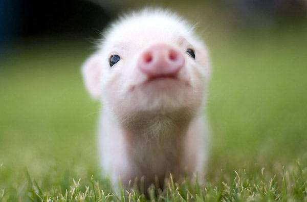 Мини-пиг, минипиг, карликовая свинья, фото животные фотография картинка