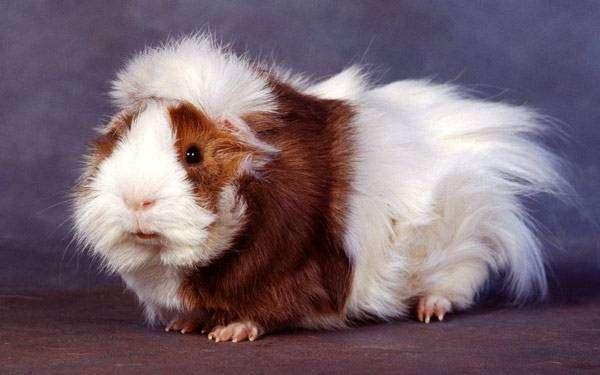 Розеточная (абиссинская) морская свинка, фото грызуны фотография картинка