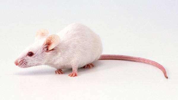 Декоративная белая мышь, фото грызуны фотография картинка