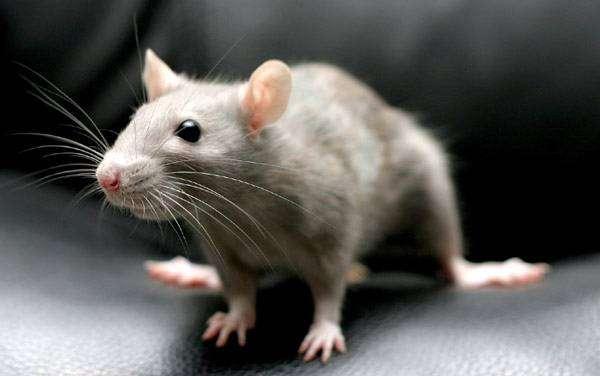 Декоративная крыса, фото грызуны фотография картинка