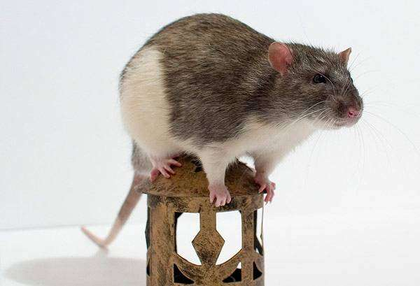 Крыса стандарт, фото грызуны фотография картинка