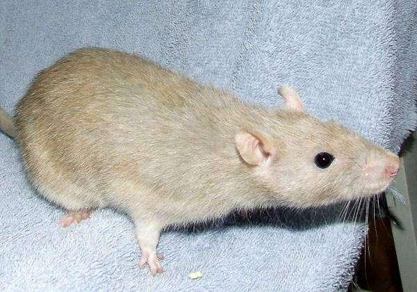 Атласная крыса, фото грызуны фотография картинка
