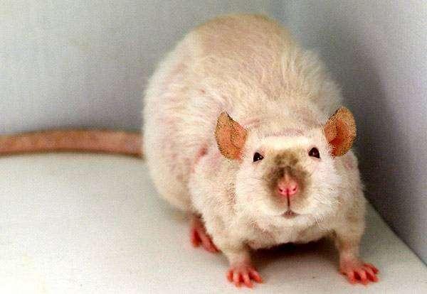 Крыса породы рекс, фото грызуны фотография картинка