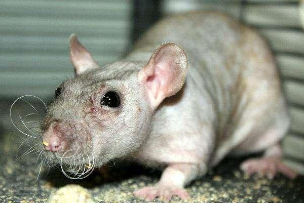 Голая крыса, фото грызуны фотография изображение