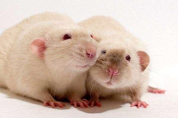 Крысы Дамбо, фото грызуны фотография картинка