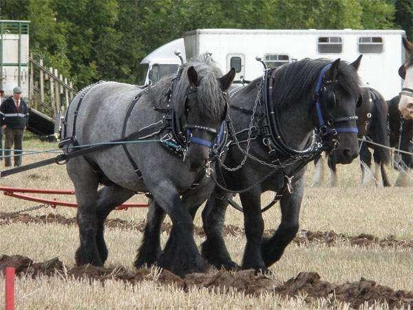 Датские тяжеловозы, фото породы лошадей фотография картинка