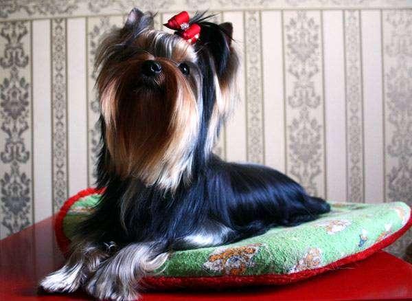 Йоркширский терьер, фото породы собаки фотография картинка