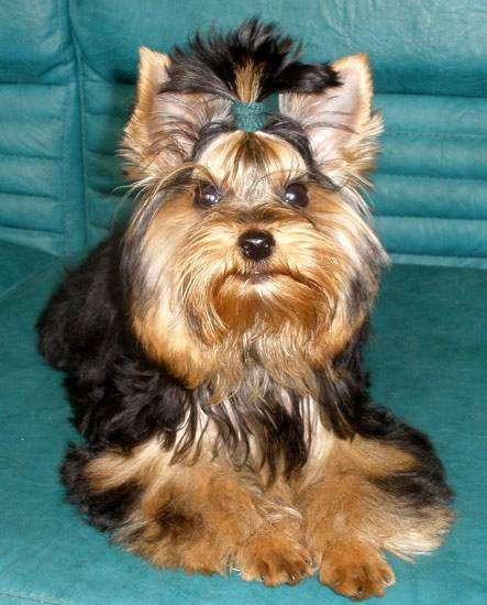 Йоркширский терьер, фото породы собаки фотография вопросы картинка