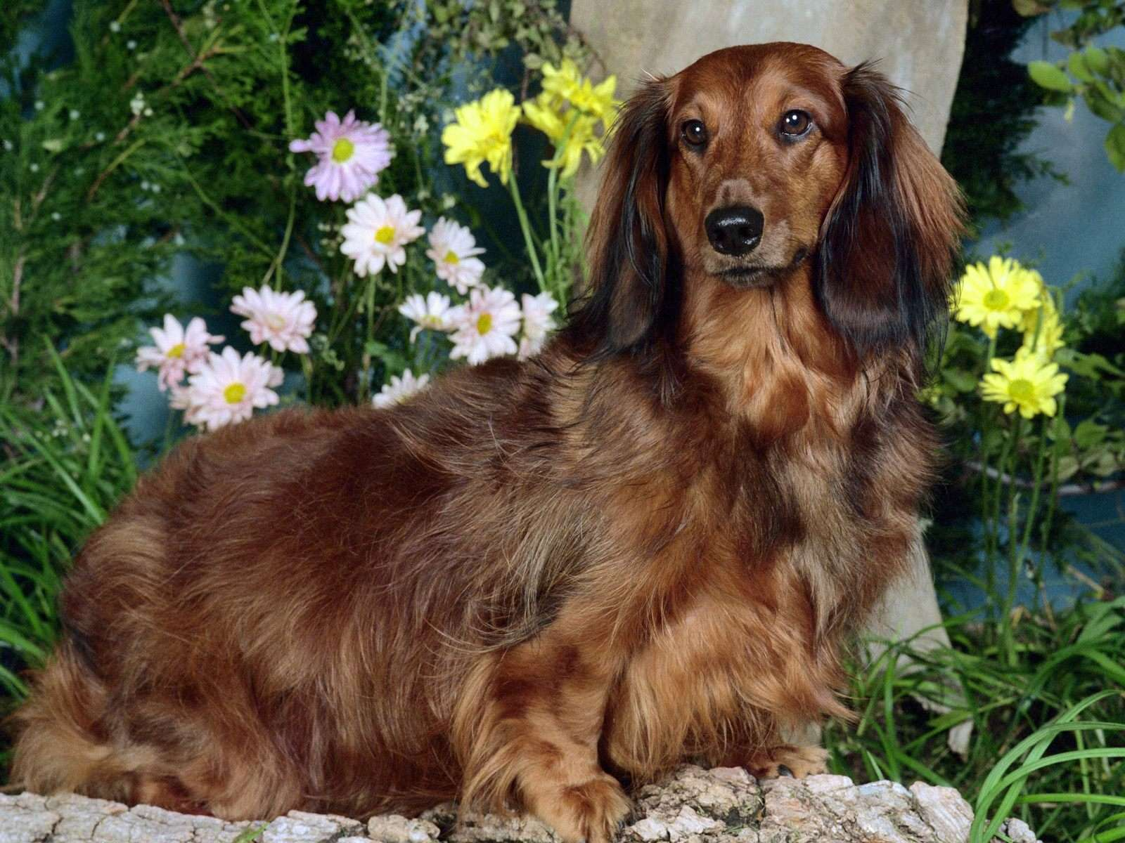 Порода собак такса фото собаки