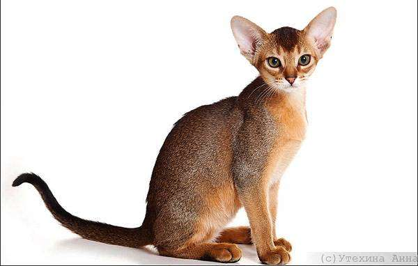 Абиссинский котенок, фото породы кошек фотография картинка