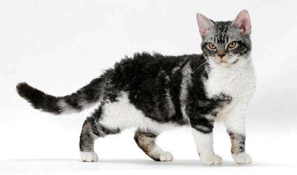 Американская жесткошерстная кошка, фото породы кошки фотография картинка