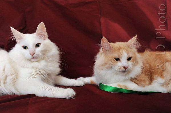 Ангорские кошки или турецкая ангора, фото породы кошки фотография картинка