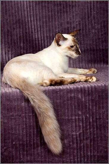 Балийская кошка, балинезийская кошка, балинез, фото породы кошек фотография картинка