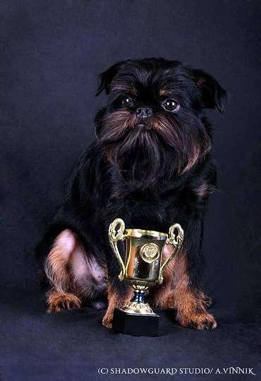 Бельгийский гриффон, фото породы собак фотография