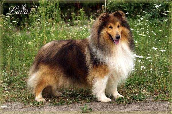 Шелти, или шетландская овчарка, фото породы собак собаки