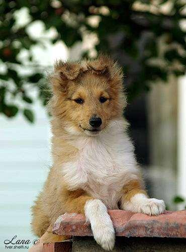 Щенок Шелти, фотография собаки породы собак