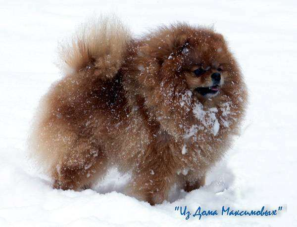 Немецкий миниатюрный шпиц (померанский), фото уход за собакой фотография